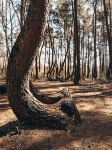 """<img src=""""Krzywy_las_twovelers.jpg"""" alt=""""poland mystery crooked forest"""">"""